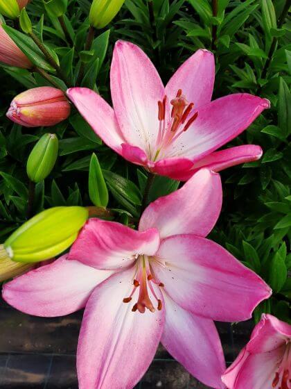 Lilium L.A. rosa obert