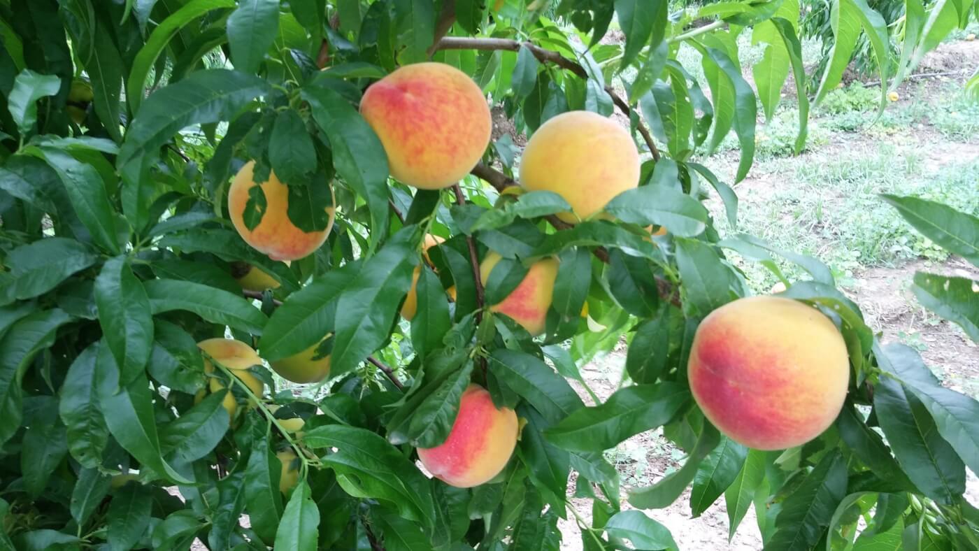 La Fruita del Ramon